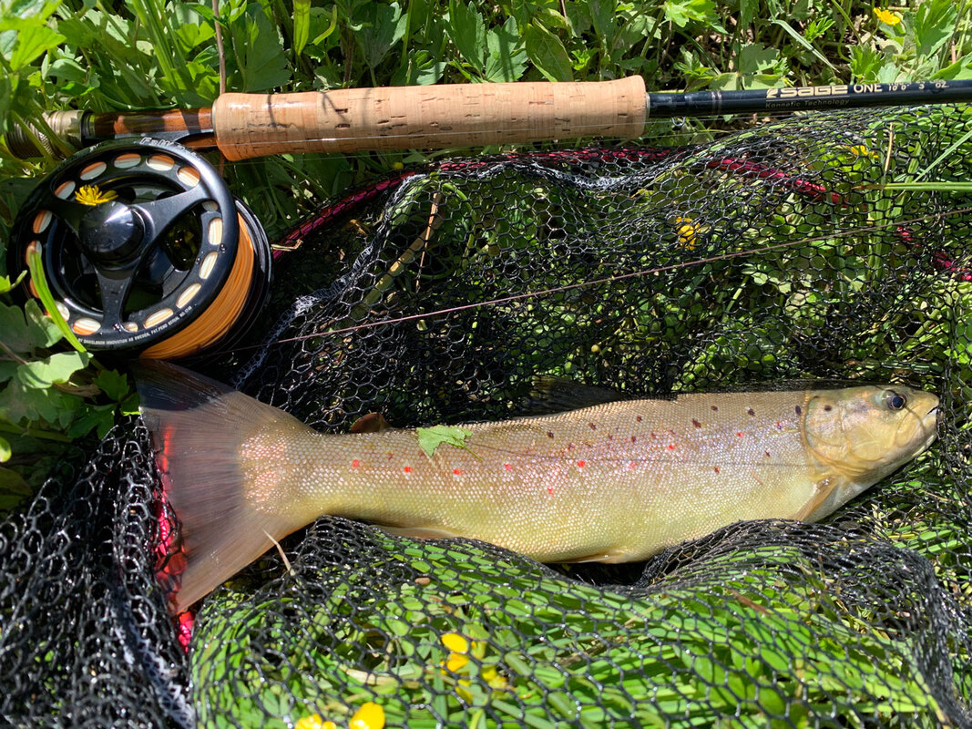 Solid Gacka brown trout